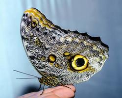 gele en zwarte vlinder foto