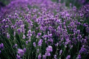 lavendelveld in zonlicht, provence, plateau de valensole. mooi beeld van een lavendelveld. lavendel bloem veld, afbeelding voor natuurlijke achtergrond. heel mooi uitzicht op de lavendelvelden. foto