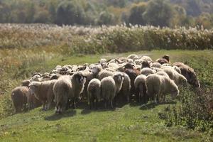 een kudde rammen graast buiten in het gras in de wei. selectieve aandacht foto