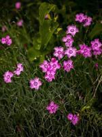 dianthus inkt bloemen in het veld foto