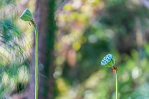 lotuszaadhoofden met vage tuinachtergrond