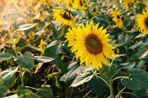 zonnebloem veld in zonlicht foto