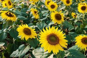 zonnebloemen in een veld foto