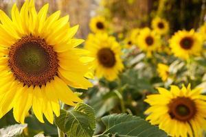 groep zonnebloemen foto