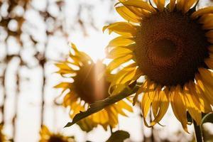 zonlicht op zonnebloemen foto