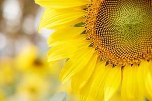 zonnebloem met bokeh achtergrond foto