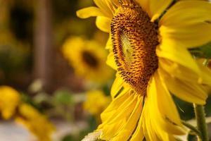 zonnebloem in een tuin foto