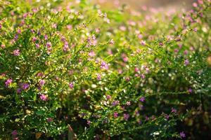 valse heide bloemen foto