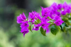 felroze bougainvilleabloemen met een vage groene achtergrond in Sotsji, Rusland foto