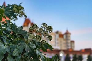 close-up van een plant met grote toppen en bladeren met vage gebouwen en een blauwe lucht in Sotsji, Rusland foto