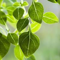 close-up van basilicum bladeren foto