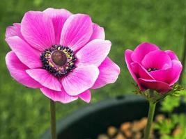 roze anemoonbloemen foto