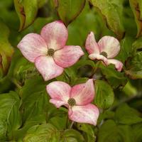 roze cornus kousa bloemen foto