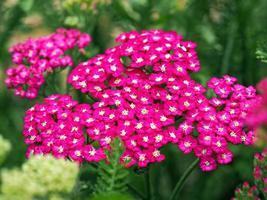 roze duizendblad bloemen foto
