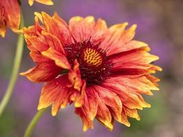 close-up van een prachtige grandiflora-bloem foto