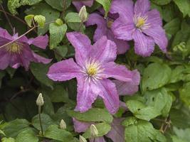 roze clematis bloemen in een tuin foto