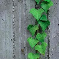 groene bladeren op de grijze muur in de lente foto