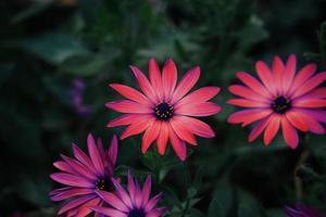 mooie rode bloemplant in de tuin in het voorjaar foto
