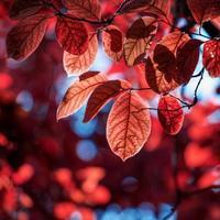rode boombladeren in de herfstseizoen, herfstkleuren foto