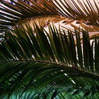 palmboom groene bladeren foto