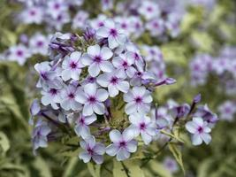 witte en paarse phlox foto