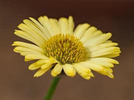 gele fijnstraal bloem foto
