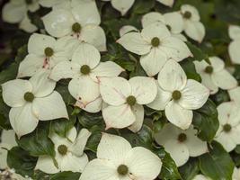 witte cornusbloemen foto