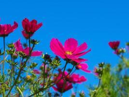 roze kosmosbloemen foto