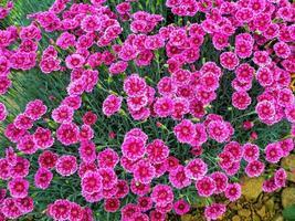 roze dianthusbloemen foto