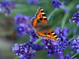 schildpad vlinder op lavendel foto