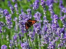 vlinder op lavendel foto