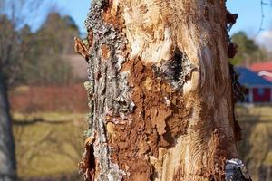 door insecten geïnfecteerde berkenstam bij daglicht in de lente. foto