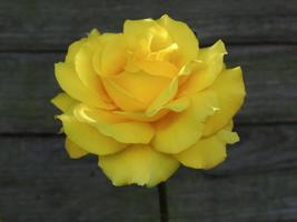 gele roos tegen een houten hek foto