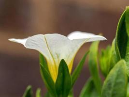 close-up van een witte calibrachoa-bloem foto