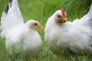 twee witte kippen op groen gras, kleurrijke haan. pik. kriel foto