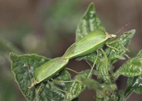 nezara viridula, algemeen bekend als de zuidelijke groene stinkwants, zuidelijke groene schildwants of groene groentekwants, Kreta foto