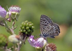 leptotes pirithous, de langstaartblauwe of gewone zebrablauw, Griekenland foto