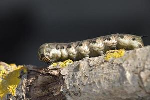 larven van de haviksmot - agrius convolvuli, Kreta foto
