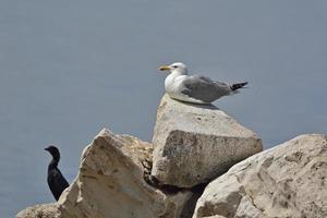 Geelpootmeeuw - Larus Michahellis, Kreta, Griekenland foto