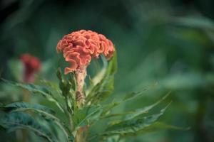 close-up van celosia-bloem met vage groene achtergrond foto