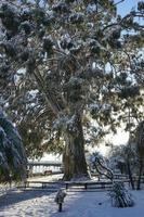 besneeuwde eucalyptusboom in een park foto