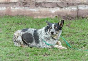 bange zwart-witte hond bastaard aangelijnd ligt op het groene gras gazon foto