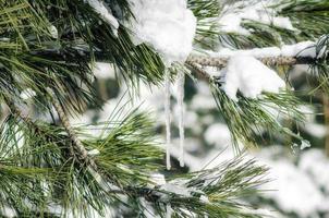 ijspegels op besneeuwde takken van sparren close-up, natuur koude winter achtergrond foto