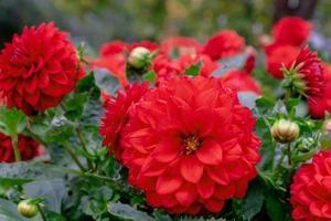 cluster van levendige rode dahlia bloemen foto