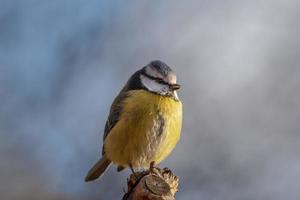 close-up portret van een mooi blauw en geel blauw foto