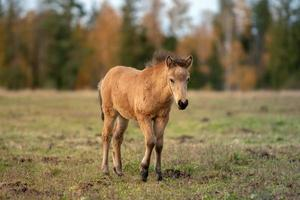 jong ijslands kastanje paard foto