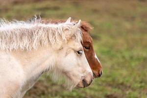 twee IJslandse veulens foto