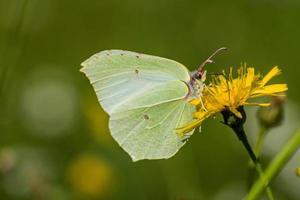 zwavel vlinder zittend op een gele bloem foto