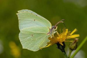 zwavel vlinder close-up foto