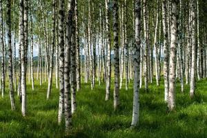 berkenbomen met groen gras foto